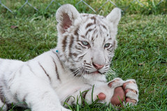 That's a BIG foot! (jennifernikon) Tags: nc tiger bigcat tigers whitetiger bigcatrescue cnpa rockwellnc tigerworld babywhitetiger