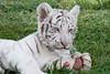 That's a BIG foot! (jennifernikon) Tags: nc tiger bigcat tigers whitetiger bigcatrescue cnpa rockwellnc tigerworld babywhitetiger