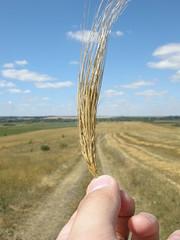 Grain (kryshen) Tags: sky nature field clouds hand grain ukraine crop crops agriculture    flickrstock