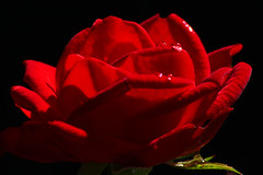 One Red Rose (Ian Lambert) Tags: red england black flower rose contrast garden lancashire bloom dozen minature waroftheroses colorphotoaward