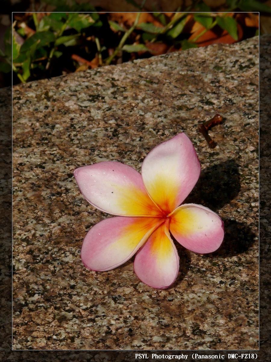 Fallen Plumeria rubra
