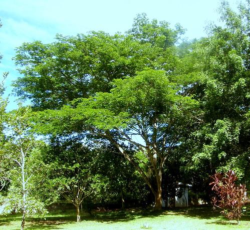 Samán (Pithecellobium saman)