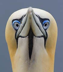 Portrait of a Gannet (sparky2000) Tags: bird nature birds animal animals feathers aves naturalworld animalkingdom avian seabird lothian gannet bassrock northerngannet morusbassanus sulidae sulabassana platinumphoto specanimaliconoftheweek solangoose atlanticgannet stuartreynolds stuartrobertsonreynolds robersonreynoldsphotography