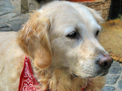 Waiting for his Hot Dog - Golden Retriever (Batikart ... handicapped ... sorry for no comments) Tags: travel vacation portrait dog pet rot eye nature animal june juni fauna goldenretriever canon geotagged nose gold golden hotdog spring holidays europa europe belgium urlaub natur retriever hund ohr ear antwerp handkerchief auge 2009 haustier nase antwerpen vacanze tier frhling flanders belgien a610 frhjahr halstuch canonpowershota610 dogbreed 50faves 200faves specanimal viewonblack hunderasse batikart westflandern canonpowerhot