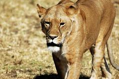 The world's most beautiful animal (LeneG) Tags: africa travel pet cats pets holiday tourism animals cat tanzania nikon nikond70 lion safari serengeti travelphotography lionesse lenegunvaldsen