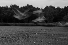 mortal -  (iM@n) Tags: wild blackandwhite pet seagulls motion bird nature netherlands birds animal nikon flight nederland thenetherlands eindhoven illusion melancholy ghostly brabant plas d90   nikond90 karpendonksche