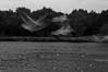 mortal - فانی (iM@n) Tags: wild blackandwhite pet seagulls motion bird nature netherlands birds animal nikon flight nederland thenetherlands eindhoven illusion melancholy ghostly brabant plas d90 شبح هلند nikond90 karpendonksche