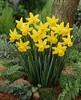 narciso february gold (nociveglia) Tags: daffodil narciso narcissus