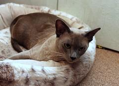 IMG_5026 (Tonkanesen) Tags: kitty katze gatto tonkanesen catnipaddicts