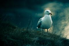 my name is Gull... Sea Gull! (e.v.r.i.e.l) Tags: blue sky bird grass animal fly pentax seagull gull bleu ciel vol animalplanet oiseau mouette k10 herbe