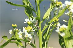 butterfly 2 (peter pirker) Tags: flower work canon butterfly austria sterreich krnten carinthia bee blume arbeit schmetterling biene villach flickraward peterfoto eos550d