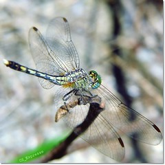 Look thru it's wing (CK_Expresso) Tags: detail macro green nature insect lumix singapore dragonfly bokeh parking wing posing panasonic resting through transparent greenongreen lx3 ckexpresso