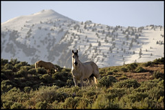 wild stallion posing against the ruby range (christianhunold) Tags: mustang stallion wildhorse rubyrange christianhunold