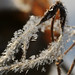 Frosty Clematis seeds