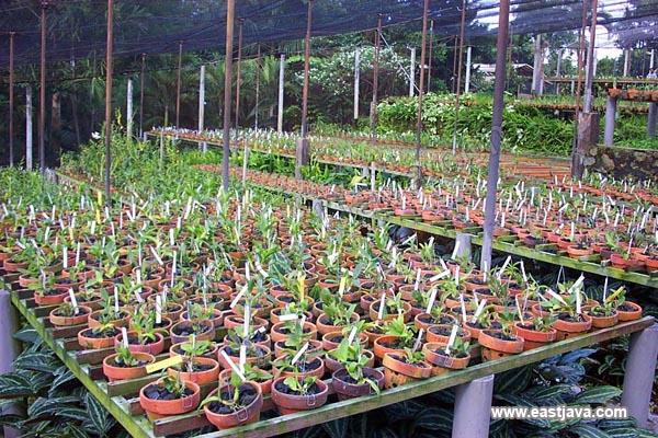 Sien Orchid Cultivation - Pasuruan