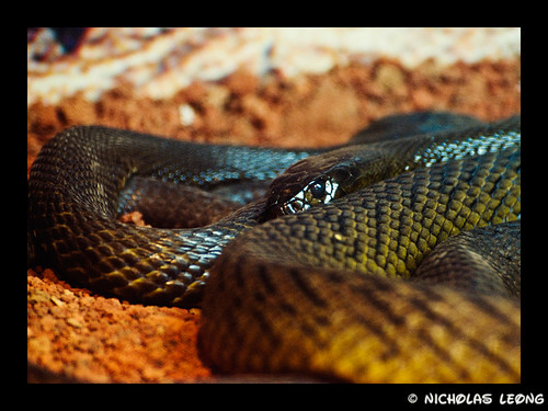 Australia's most poisonous snake