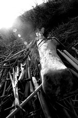Confusing Disenchantment with Truth (StaceyDePhoto) Tags: blackandwhite sticks logs marsh bog nikon18200mmvr ebparks