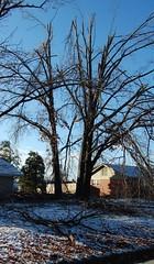 Front yard broken trees (laurienrick) Tags: ice nature icestorm damage arkansas naturaldisaster springdale january2009 icestorm2009