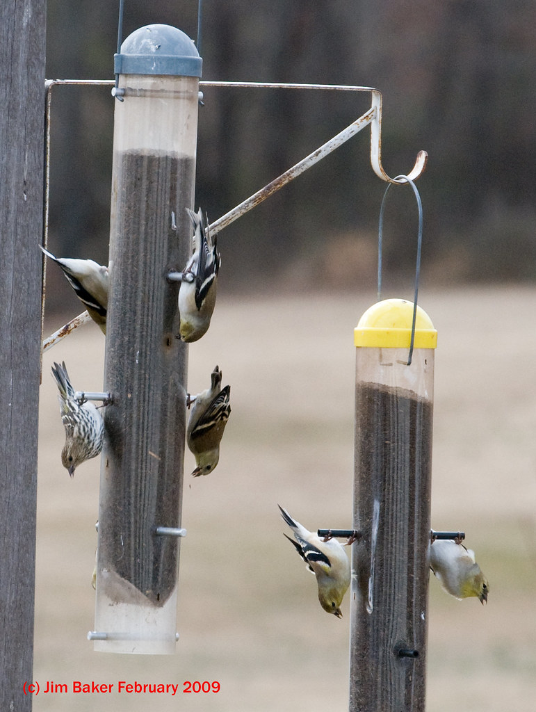 Pine Siskin / American Goldfinch