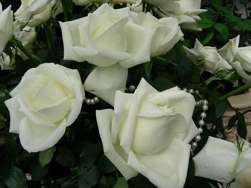 士林官邸-白玫瑰