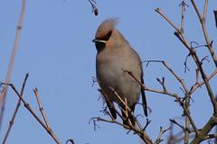 Waxwing Rendlesham 21.2.09 (4) (Margaret the Novice) Tags: waxwings birdwatcher onblue