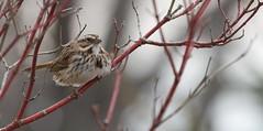 song sparrow (qmnonic) Tags: bird birding sparrow oshawa songsparrow secondmarsh secondmarshwildlifearea