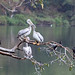 Birds of Ethiopia: pelicans can share