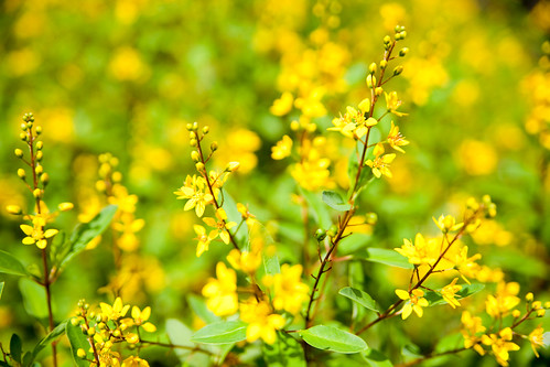 Little Yellow Flowers (by swanky)