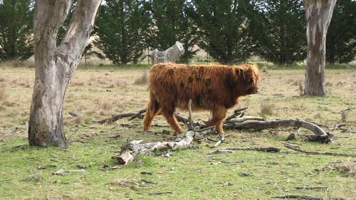 Furry calf