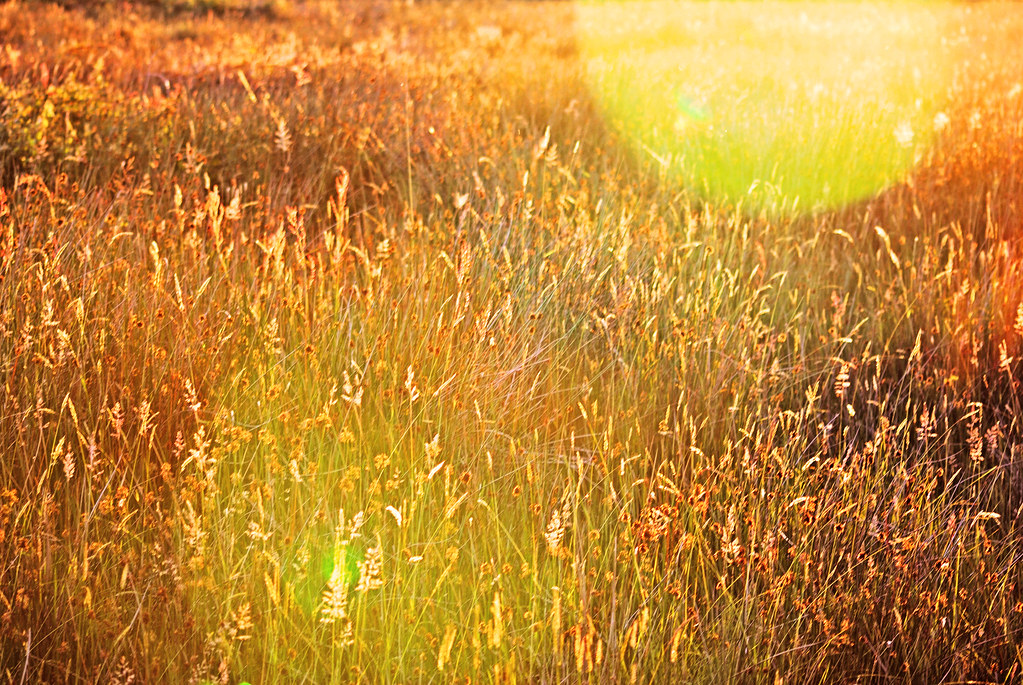Long grass at sunset