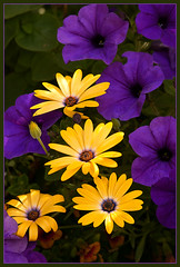 Royal Colours Bouquet (TT_MAC) Tags: flower nature garden daisy petunia victoriabc fantasticflower isawyoufirst