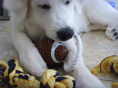New Toys 5 (PolothePup) Tags: dog puppy great polo pyrenees greatpyrenees