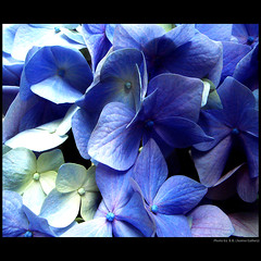 For you - thanks! ... (juntos ( MOSTLY OFF)) Tags: flowers blue thanks flor foryou oa hortensia thegoldengallery onlyblue mywinners platinumphoto keepyoureyesopen theunforgettablepictures energiapositiva sirhenryandco thebestgallery imagesforthelittleprince musicandfriends friendsofelbrujo finestimages richardsgold50 mammabloomers empyranflora richardfloraefauna mensartflowergarden 3mroyalflowers weireinesfavouriteflowers