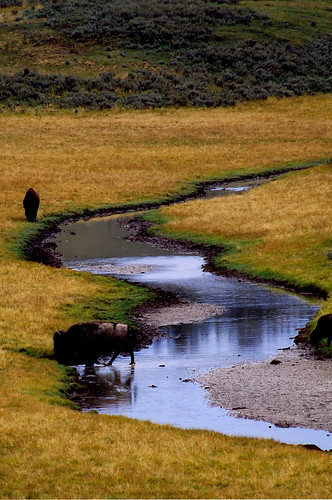 Yellowstone..Bisonti al pascolo..!!