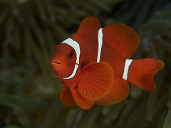 Spinecheek anemonefish 1 (Paul Flandinette) Tags: ocean fish macro indonesia nikon underwater clownfish northsulawesi anemonefish marinelife underwaterphotography bunaken nemofish spinecheekanemonefish beautifulfish premnasbiculeatus maroonanemonefish paulflandinette