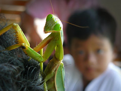 Something weird in your hair Grandma! (Bn) Tags: hair mantis weird rainforest topf300 explore your tropicalisland kohmak topf100 frontpage fortuneteller prophet topf200 motherinlaw prayingmantis newphew pestcontrol amazingthailand bidsprinkhaan mantises mantodea 100faves wildnature 200faves komak chinesemantis tenoderaaridifoliasinensis 300faves tenoderasinensis freenature mantisface sexualcannibalism mantiseye raptoriallegs relatedtocockroaches showingitscompoundeyesandlabrum bitingoffthemaleshead camouflageanddefense mastersofcamouflage desirableinsects harmlesstohuman upto10cm upto4inches popularmantisesinthepethobby macroofmantis livingintherainforest mantidssomething grandmahairmy bossmy