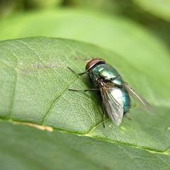 Gullflue - Lucilla sp