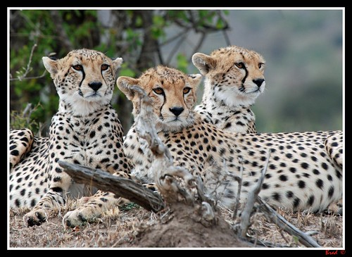 A Coalition of Cheetahs - Mum and her 2 Cubs