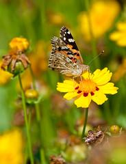 Mariposa Vanessa Cardui (sjpadron) Tags: vanessa nature butterfly bug mariposa cardui sjpadron sergiopadron sergiopadrn sergiojpadrna sergiojpadron