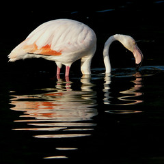 Reflected / Reflejado / Refletida / Riflessa (jovidoes) Tags: pink orange naturaleza white lake black bird art blanco nature birds reflections lago libertad reflecting photo interesting flickr gallery foto photographer arte photos top negro free rosa aves pelican explore pjaros ave reflejo naranja flu libre photostream belleza pjaro visin percepcion plumage finearts equilibrio armona pelcano plumaje sellection expolore mywinners abigfave jovidoes saariysqualitypictures joaqunvicente joaquinvicente joaquinvicenteesp joaqunvicenteesp joaquinvicenteespilluch joaquinespi joaquinespilluch