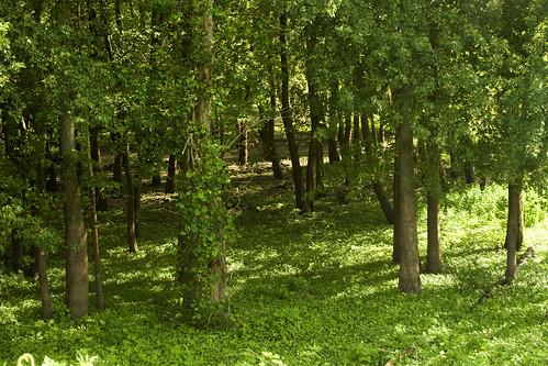 BottomlandForestEmiquon08212009IMG_8674