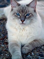 Bianca Pussycat Pose (joecrowaz) Tags: arizona cats pets animals olympus e500 bestofcats kittyschoice vosplusbellesphotos bestofspecialpetportraits