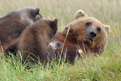 Got Milk? (Image taken in the wild.) (Len Radin) Tags: brown alaska milk nipple nursing radin brownbear ursusarctos katmai lactating halobay hallobay drurydrama