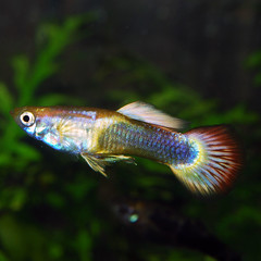 HB gold male guppy (Felicia McCaulley) Tags: guppy livebearer poeciliareticulata