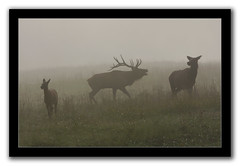 Family Round Up (csnyder103) Tags: morning wild baby fall fog cow wildlife foggy silhouettes bull elk rut almostmonochromatic