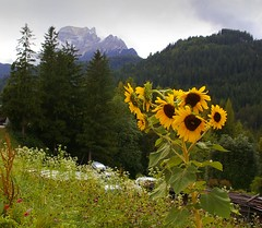 Alpine Sunflowers (albireo 2006) Tags: wallpaper mountain alps flower green yellow wow background sunflower girasole dolomites dolomiti  sonnenblume zonnebloem girassol  sonecznik  solros   sanvitodicadore    ayiei    hngdng  svitodicadore