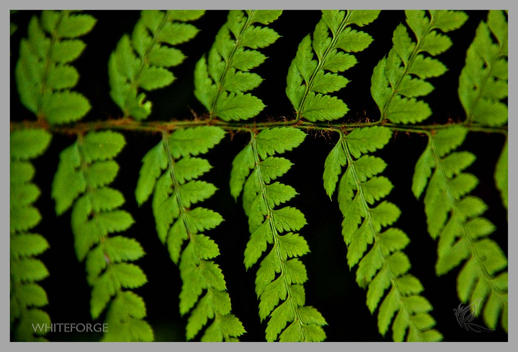 Fern in Sherbrooke Forest
