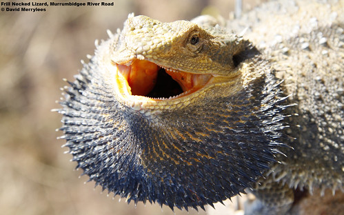 free 1680x1050 desktop wallpaper photo of a Bearded Dragon