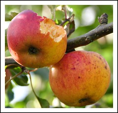 "October ""Guests"" (powerfocusfotografie) Tags: autumn trees fall colors closeup garden october dof bokeh painted apples blackbird henk mirlo merel powerfocus nikond90"