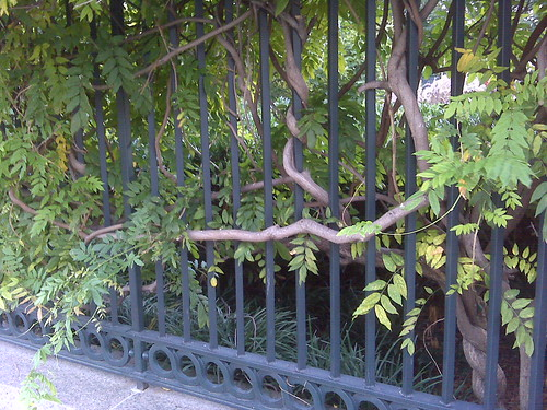 Vine on Fence